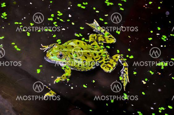 Grønne frog med mørke pletter, svømning