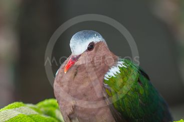 Emerald dove or Green Pigeon