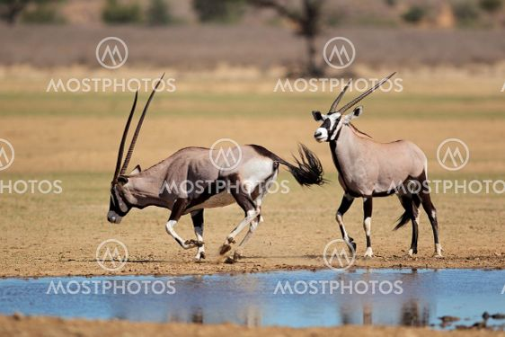 Gemsbok antelopes at a waterhole