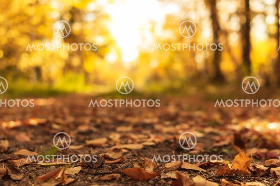 Country road is covered with fallen dry leaves in the...