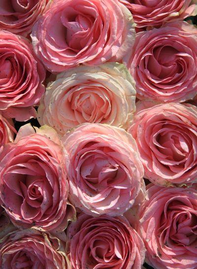 big pink roses in sunlight