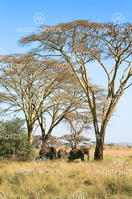 Elephants (Loxodonta africana) in Serengeti National...