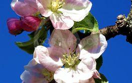 Äppelblommor och knoppar mot blå himmel