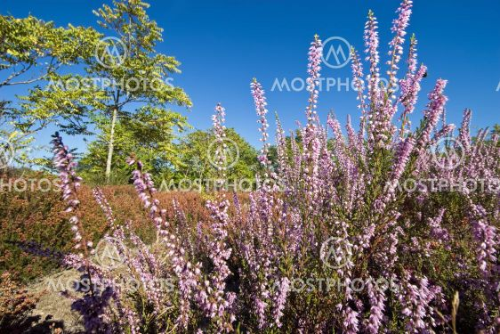 pink heather and trees