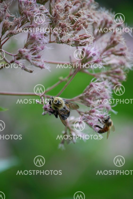 Bees on Joe Pye Weed
