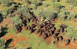Aerial view of African buffalo herd
