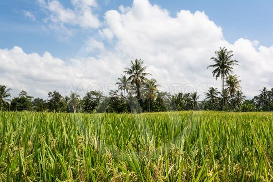 Rice cultivation on Bali, Indonesia