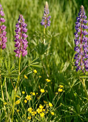 Lupins and Winter Aconites