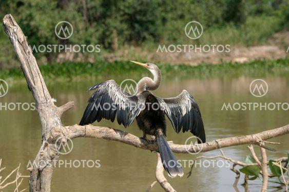 Snakebird (Darter)