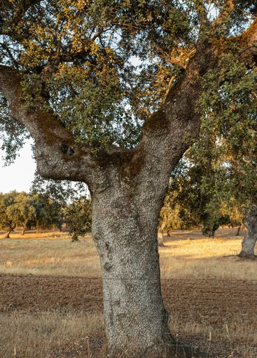 Acorn trees in the fields of Andalusia Spain
