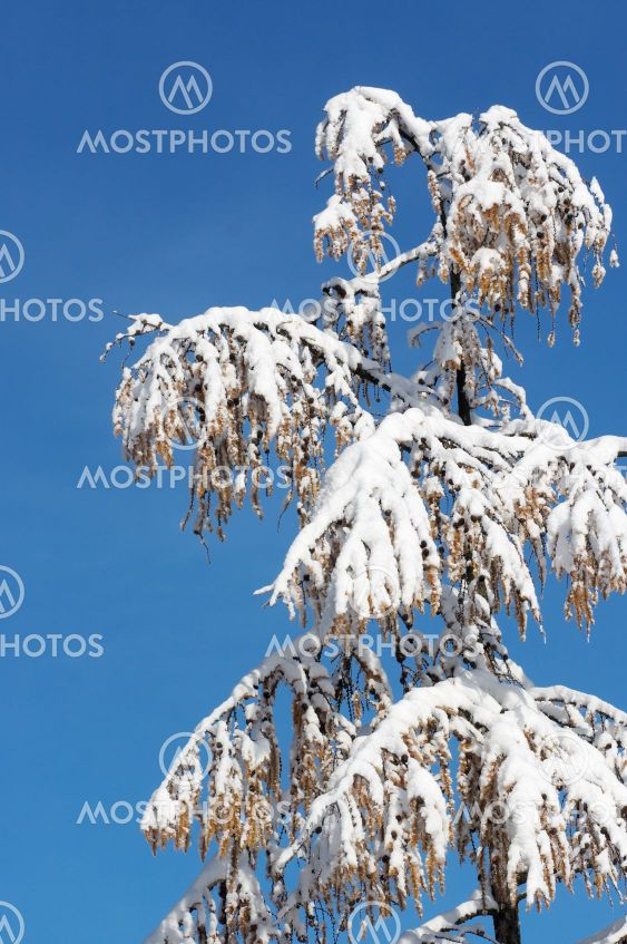 Winter coniferous tree