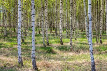 Björkskog, försommar