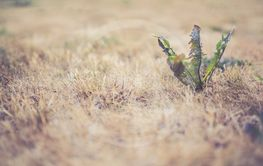 Torrt gräs som utgör brandrisk
