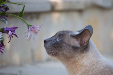 flower and siamese
