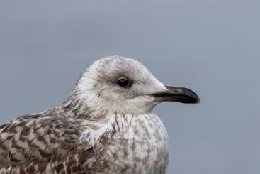 Close up of the head of a sea gull