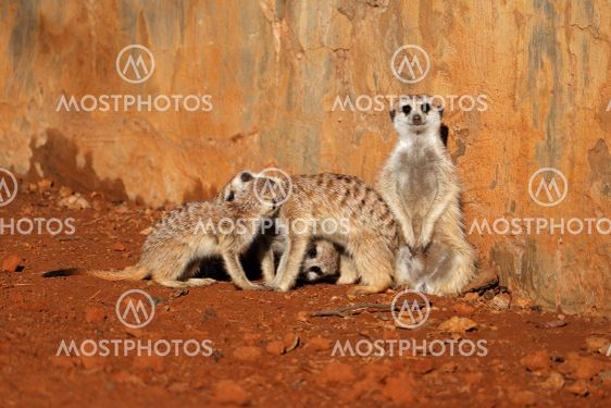 Meerkat family basking in the sun