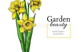 Daffodil flower and leaves bouquet drawing. Vector hand...