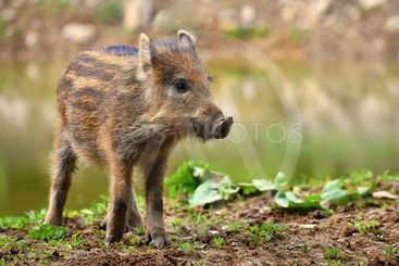 Animal - wild boar in the wild. Young bears playing in...