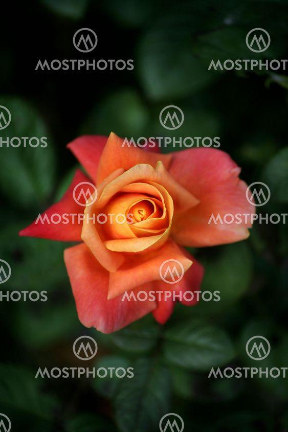 Våren Rose