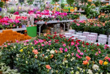 Multicolored rose flowers in pots on the counter in a...