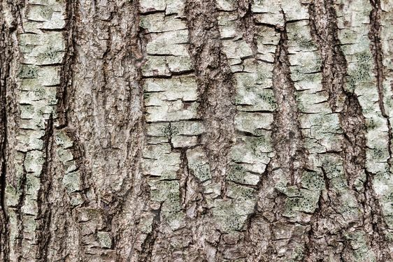 Texture or background of tree bark