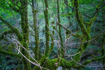 horizontal photo - a magical forest. Old trees covered...