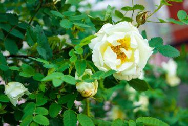 Decorative white terry rose hip, wild rose, white...