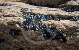 musssels on rocks in border ocean