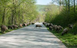 Flock of sheep crossing road