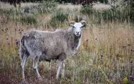 Får tittar i en betesmark med sommarblommor på Öland
