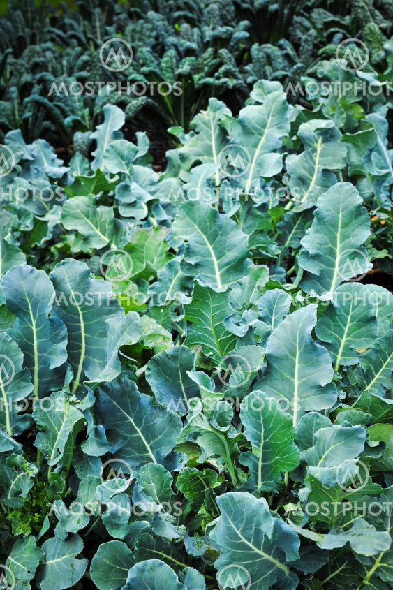 Vegetable garden - kale
