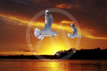 Golden seagull Ocean Sunset. Original exclusive photo art.