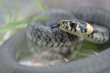 Grass snake or Natrix natrix curled up with tongue out...