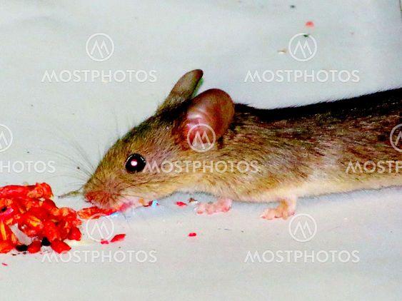 Мышь  поедает  зерна.
