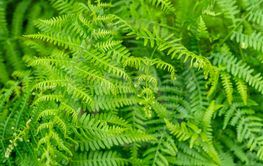 fern plants closeup