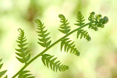 single new growing leaf of wild fern against blurred...