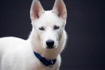 White Siberian husky portrait looking at camera