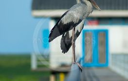 Asian Openbill bird are stand on the Iron rail.