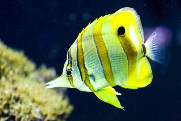 Yellow and Gold Striped Fish