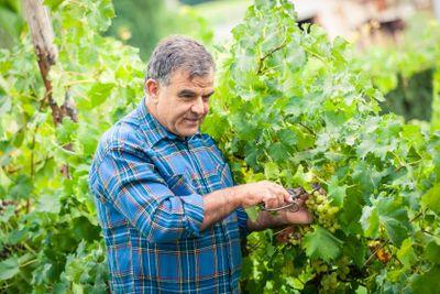Adult Man Harvesting Grapes in the Vineyard