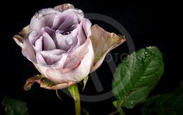 Lila ros mot svart