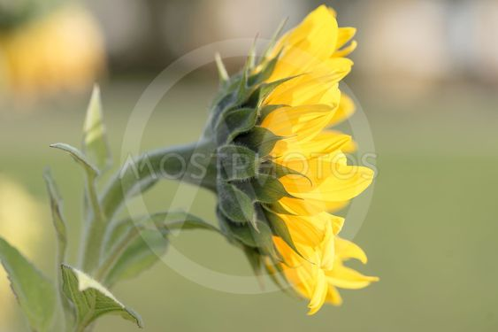 Sunflower from the side in bright yellow color and green