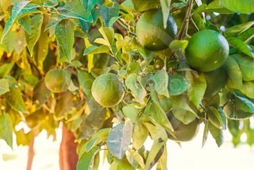 Close up unripe green grapefruits hanging on the tree...