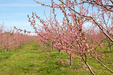 Peach Orchard in Pink Blossoms