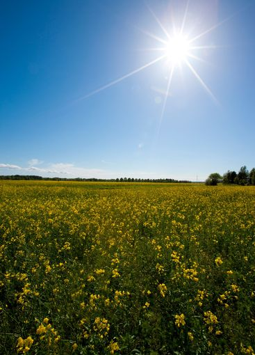 Swedish summer meadow with sun and blue sky