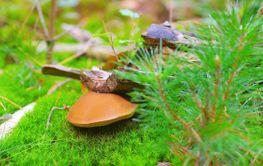 Xerocomus ferrugineus mushroom in forest