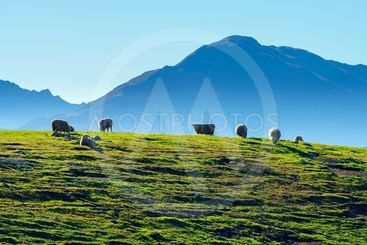 Flock of sheep on a hill, New Zealand.