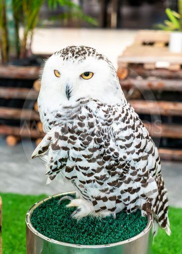 beautiful owl in zoo
