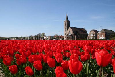 Bulb field in Holland