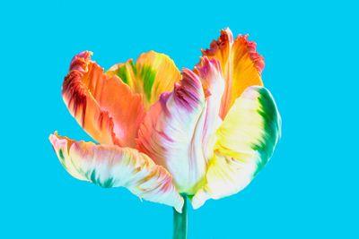 flora : tulip,MPEaster2013